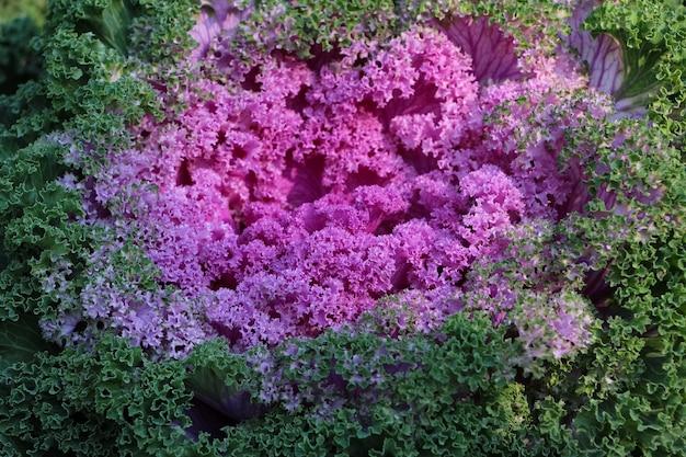 Repolho vermelho ornamental deixa kale nagoya red sob a luz do sol como um fundo roxo natural
