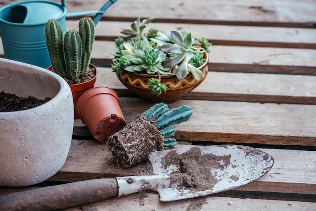 Repotting suculentas e cactos na horta