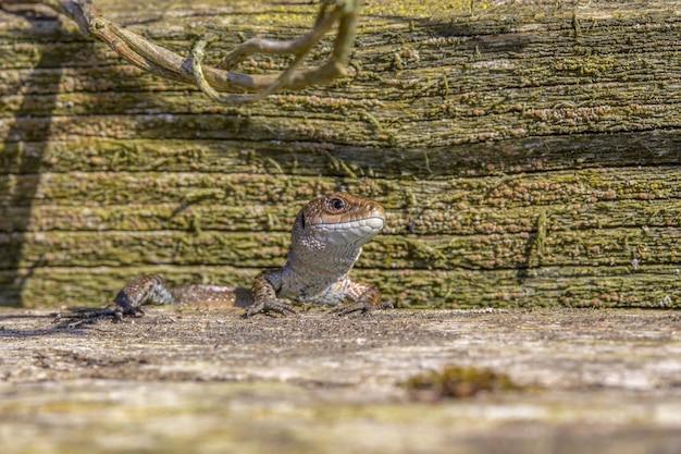 Réptil lagarto na rocha de perto
