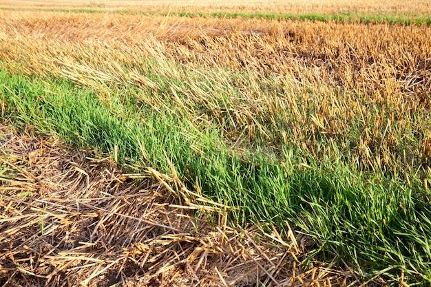 Restolho amarelo velho e brotos de trigo verdes crescendo em um campo agrícola