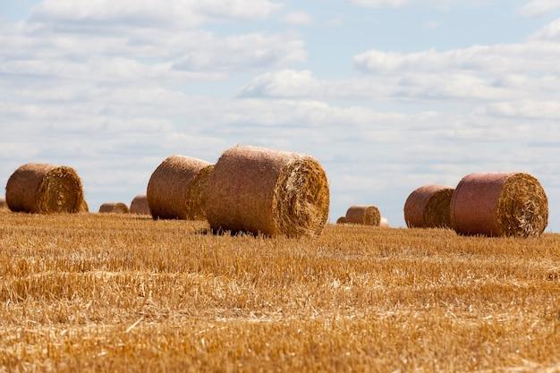Restolho de trigo em um campo rural
