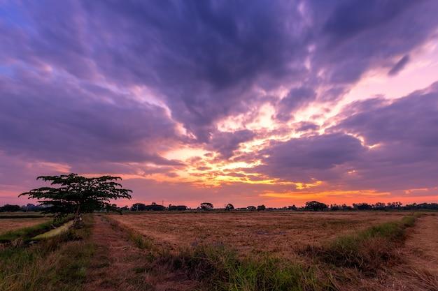 Restolho queimado do arroz em um campo do arroz após a colheita com por do sol das nuvens do céu azul.