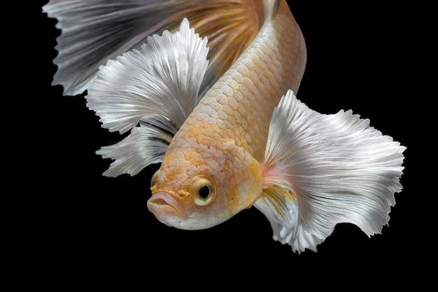 Resumo fechar o movimento de arte de peixes betta, peixes-lutadores siameses isolados no fundo preto. conceito de design de arte fina.