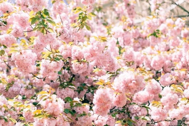 Resumo flor de cerejeira. foco suave, plano de fundo