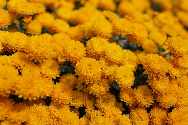 Resumo natural de floração de lindos crisântemos amarelos.