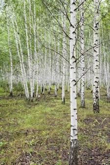 Resumo o bosque de vidoeiros