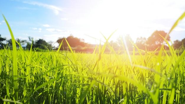 Resumo primavera ou verão fundo com grama fresca pôr do sol ou nascer do sol prado com árvores e céu azul de belos campos paisagem com um dia brilhante do amanhecer /