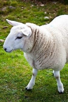 Retrato adorável de ovelha em campo de grama, escócia