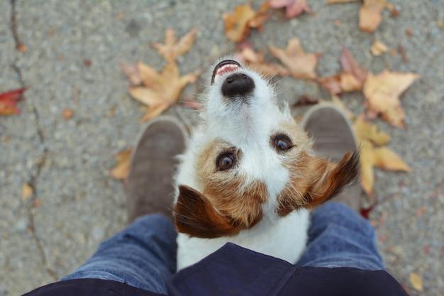 Retrato adorável jack russell cachorro que joga com folhas de outono