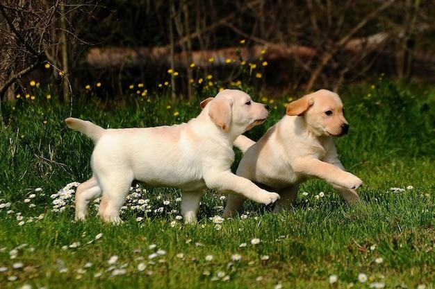 Retrato amarelo do cão de dois cachorrinhos de labrador retriever.
