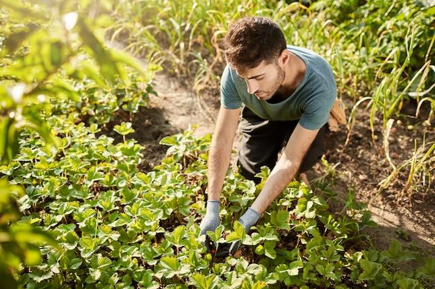 Retrato ao ar livre de um bonito jardineiro caucasiano, de camisa azul, colhendo frutas no jardim e fazendo geleia de morango para os amigos