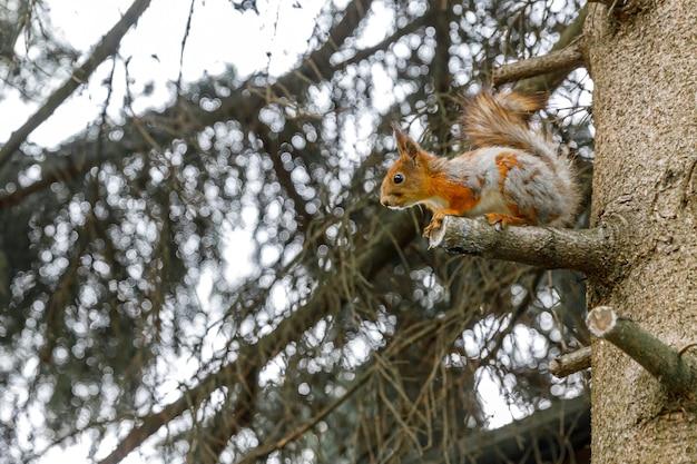Retrato ao ar livre de um lindo esquilo vermelho-cinzento curioso sentado em um galho de árvore no fundo da floresta