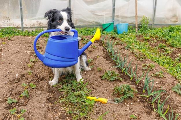 Retrato ao ar livre do cão fofo border collie segurando um regador na boca no fundo do jardim