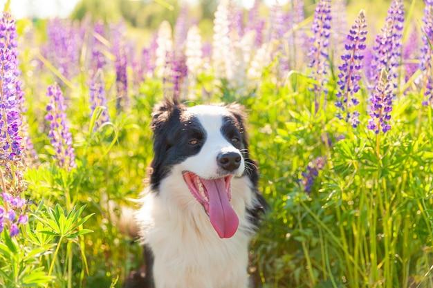 Retrato ao ar livre do filhote de cachorro border collie sorridente fofo sentado na grama, mesa de flores violeta