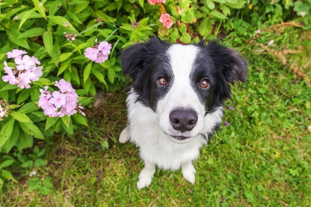 Retrato ao ar livre do filhote de cachorro border collie sorridente fofo sentado