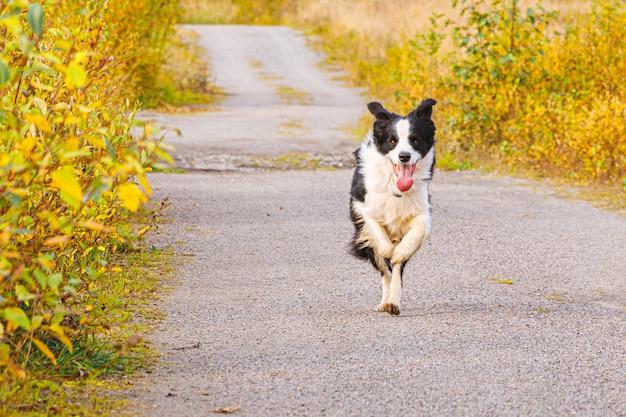 Retrato ao ar livre do filhote de cachorro sorridente fofo border collie correndo no parque outono ao ar livre. cachorro com cara engraçada em andar em um dia ensolarado de outono. olá, conceito de clima frio de outono.