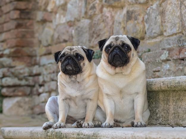 Retrato ao nível dos olhos de dois adoráveis cães pug com lindos olhos grandes sentados ao ar livre