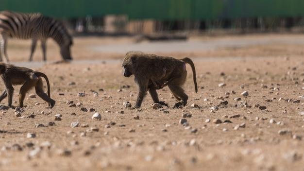 Retrato, babuíno, cyynocephalus, papion