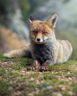 Retrato bonito da raposa vermelha na floresta selvagem.