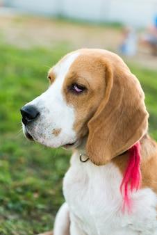 Retrato bonito de beagle