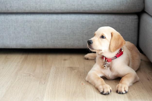 Retrato bonito de labrador retriever. feliz labrador retriever sentado na sala de estar.