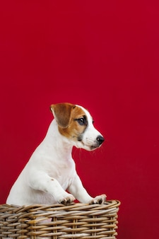 Retrato bonito do cachorrinho de jack russell terrier.