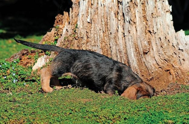 Retrato bonito do cão de cachorrinho do bassê.