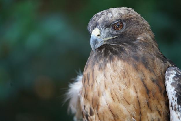 Retrato bonito do falcão