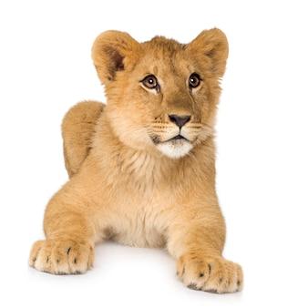 Retrato bonito do filhote de leão isolado