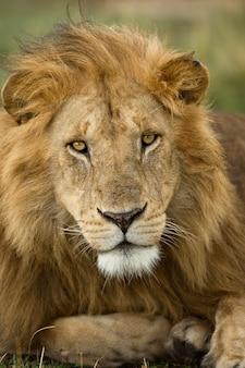 Retrato close-up, de, leão, parque nacional serengeti, serengeti, tanzânia, áfrica Foto Premium