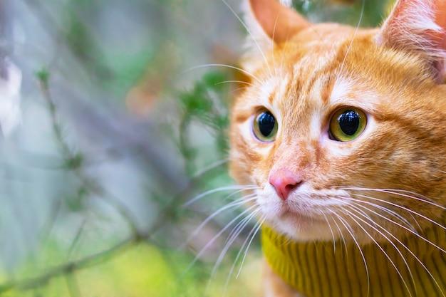 Retrato, close-up de um gato ruivo em um lenço, os raios do sol no contexto da floresta e das árvores. ao ar livre, espaço para cópia