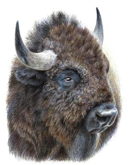 Retrato colorido de um bisão, búfalo isolado no branco bacground. desenho com lápis aquarela