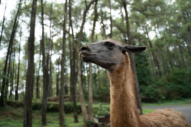 Retrato da cabeça de um animal de lhama preto em um parque de safari