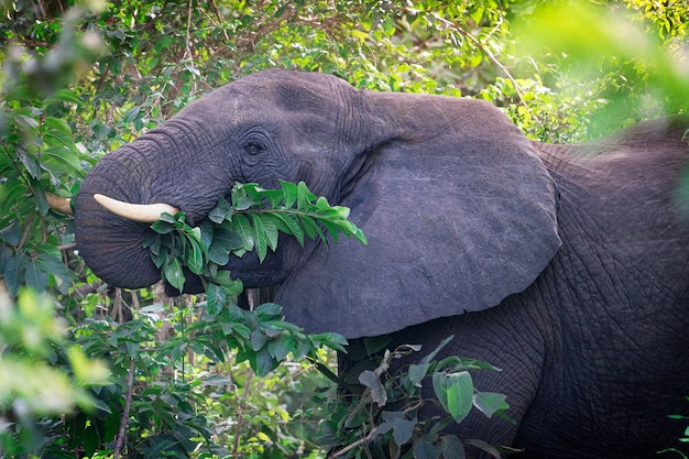 Retrato da cabeça de um grande elefante africano herbívoro cinzento comendo folhas verdes das árvores