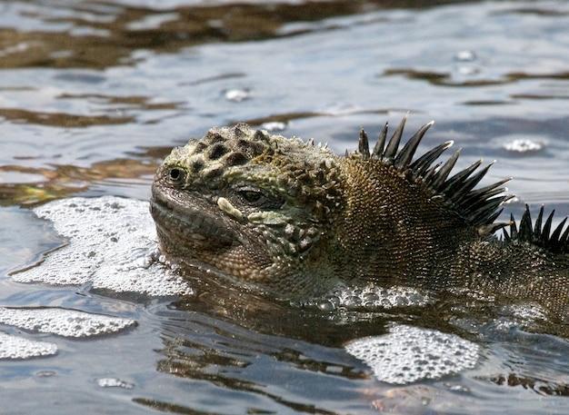 Retrato da iguana marinha na natureza