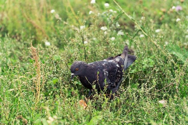 Retrato da pomba na grama.