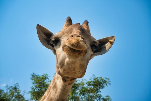 Retrato da vista frontal da cabeça natural da girafa no céu azul