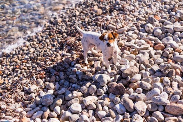Retrato da vista superior de um cão pequeno bonito bonito na praia. sentado nas pedras e olhando para a câmera. pôr do sol e verão. feriados