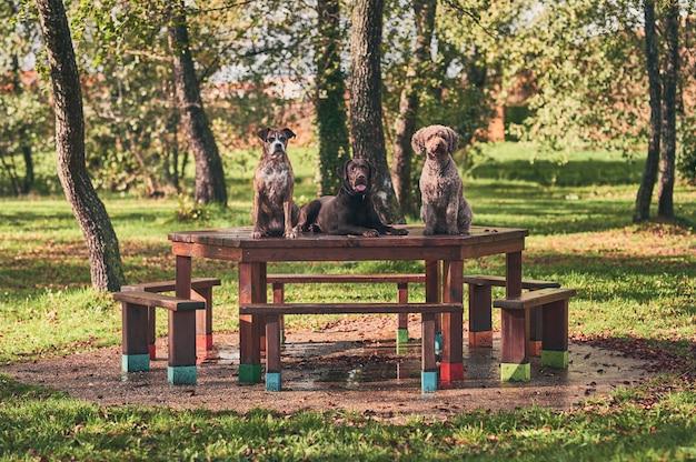 Retrato de 3 cães, cão de água espanhol, chocolate labrador e boxer, posando sobre uma mesa de madeira no parque