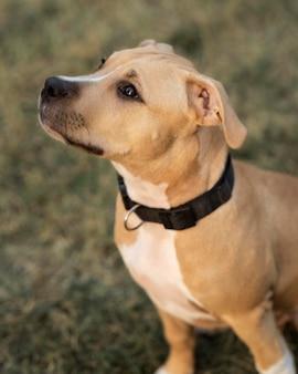 Retrato de adorável cachorro pitbull