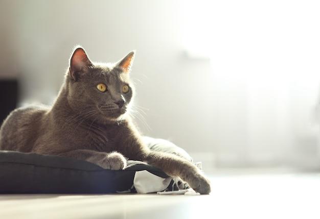 Retrato de adorável fofo gato cinza fofo luying no chão de sua cama em fundo de casa aconchegante. gato azul russo. vida doméstica com animal de estimação.