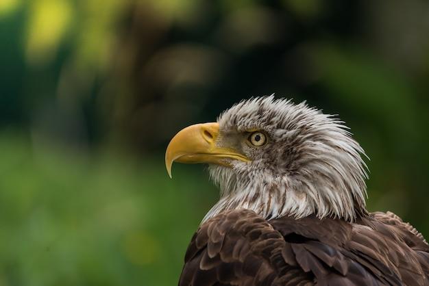 Retrato de águia careca
