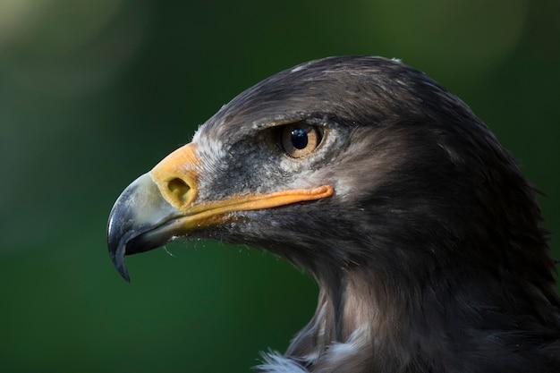 Retrato de águia de estepe