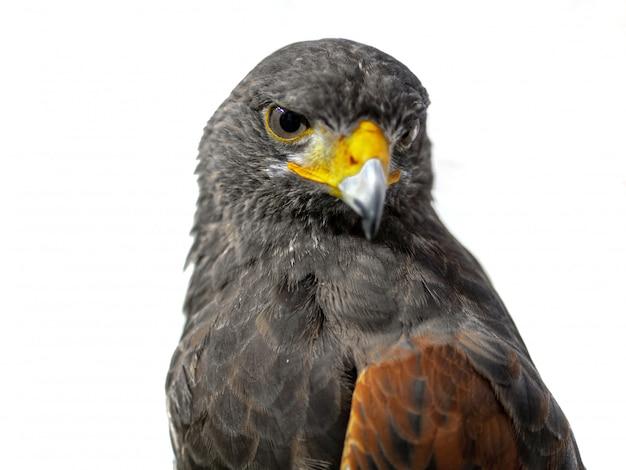 Retrato de águia dourada em fundo branco