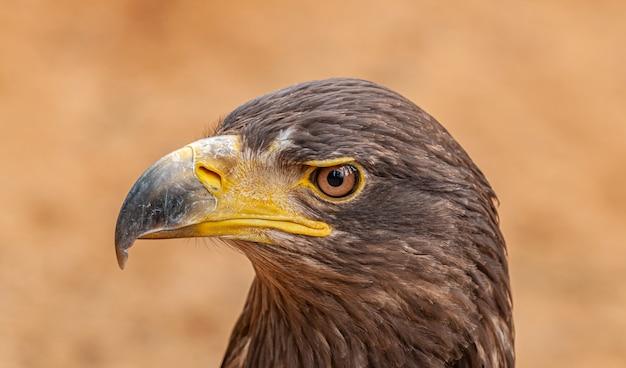 Retrato de águia marrom