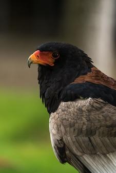 Retrato de águia voadora