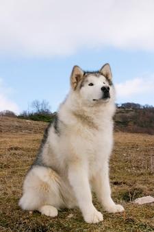 Retrato, de, alasca, malamute, cão
