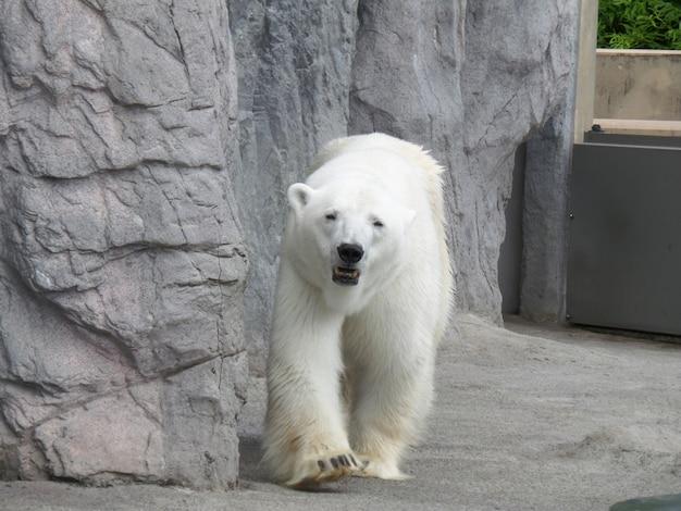 Retrato, de, andar, urso polar