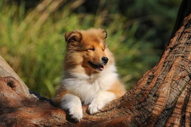 Retrato, de, áspero, collie, cão