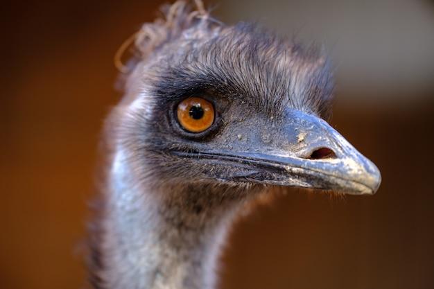 Retrato de avestruz africana olhando para a câmera na fazenda de avestruzes. avestruz emu farm